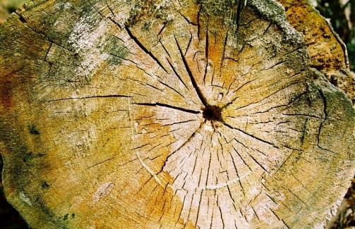 treestumprings2